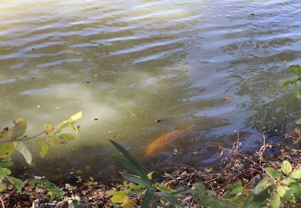 勅使池の鯉